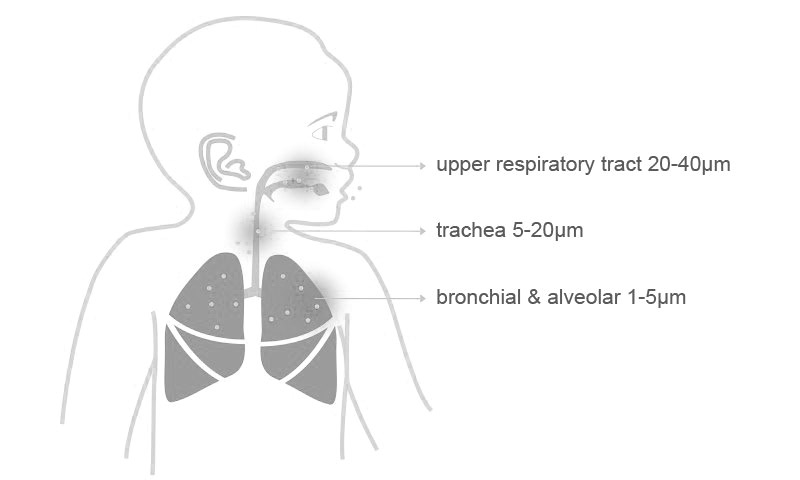 Upper respiratory tract 20-40μm, trachea 5-20μm, bronchial & alveolar 1-5μm